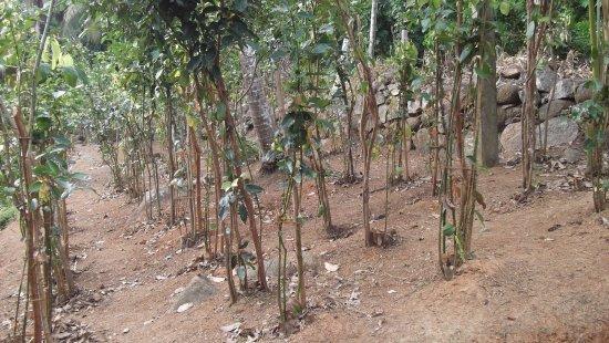 A Visit To A Cinnamon Plantation With Thomas Stillmann